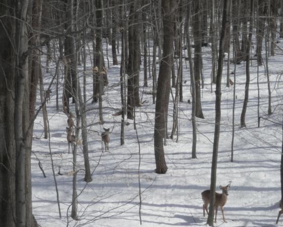 our herd of deer