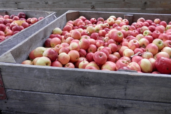 apples, apples, apples....